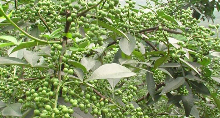 Green Sichuan Pepper Tree