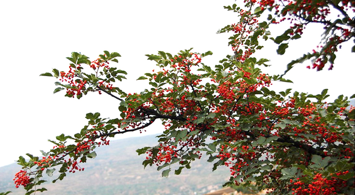 Red Sichuan Pepper Tree